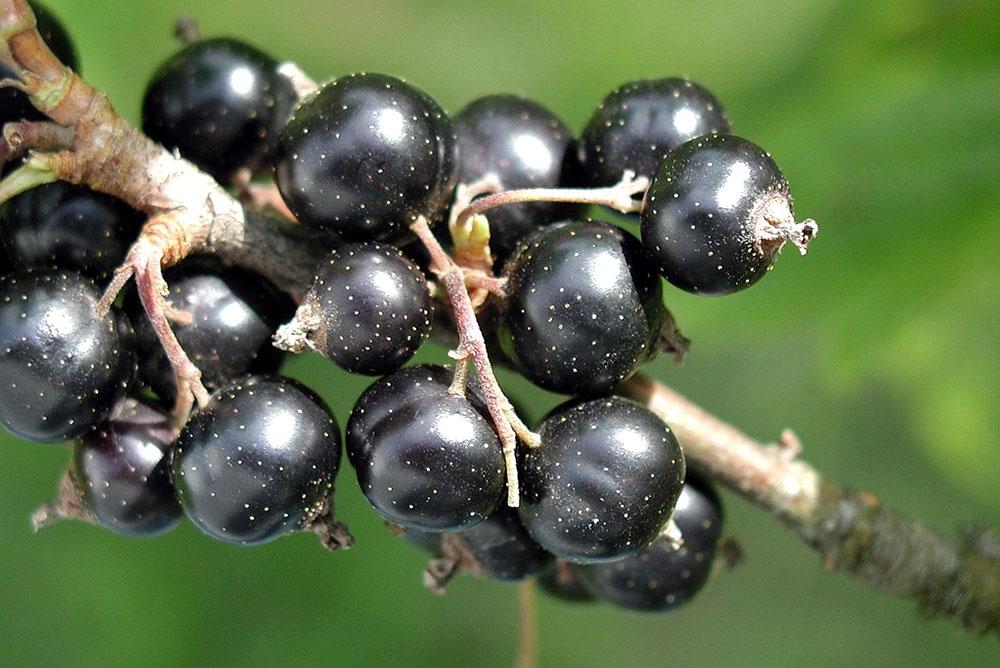 svarta vinbär självplock